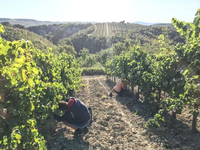 Vendemmia 2017 - Harvest 2017